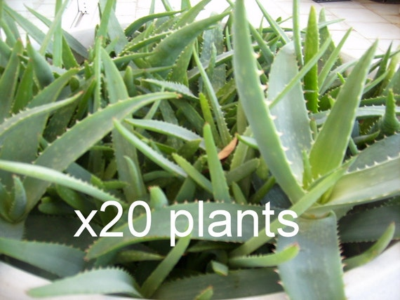 20 arbres de plantes aloe vera bio grande plante bare root 3 4 etsy. Black Bedroom Furniture Sets. Home Design Ideas