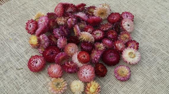 Séchés hélichryse secs éternelle fleurs décoration de Noël  11c28b572db