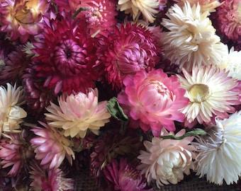LARGE - dried strawflower heads - pink/white/burgundy mix