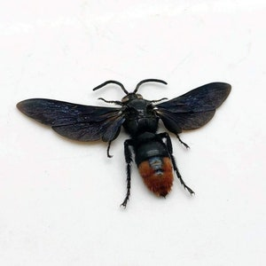 y45 Entomology Iridescent Scoliid Wasp Megascolia azurea Male Glass Dome Display collectible specimen insect