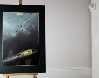Original Photograph, Koi Fish, Framed size A2 or A3
