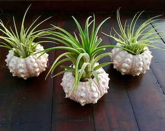 Sea Urchin Planter with Ionantha Air Plant, Airplants