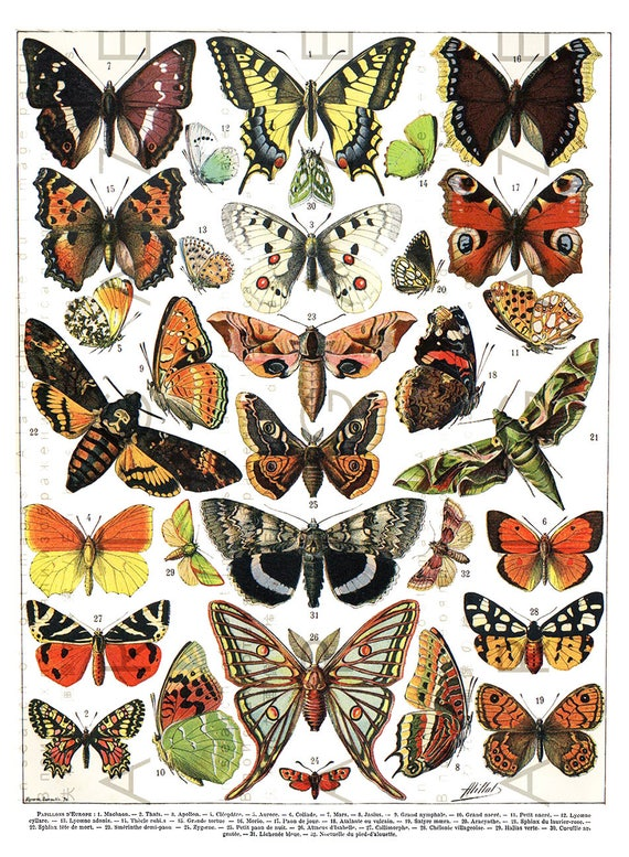 Antique Butterfly Chart. Digital Butterfly Download ...  Vintage Butterfly Chart