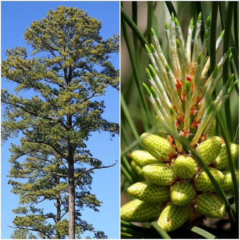 Loblolly Pine Fresh Seeds 40 Seeds Pinus Taeda