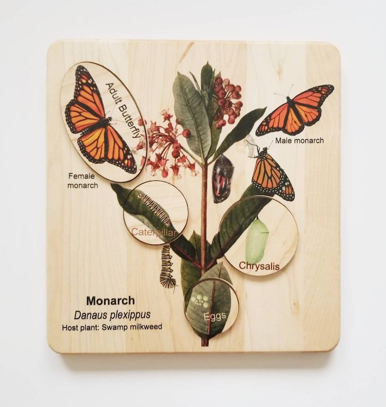 Life cycle of a monarch butterfly butterfly life cycle image 2