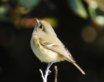 Warbler Bird - Stock Photography, Digital Download, Photograph, Nature
