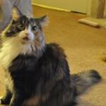 Lassie - Custom Cat