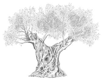 Olive Tree (6): Print of Original Pen & Ink Drawing