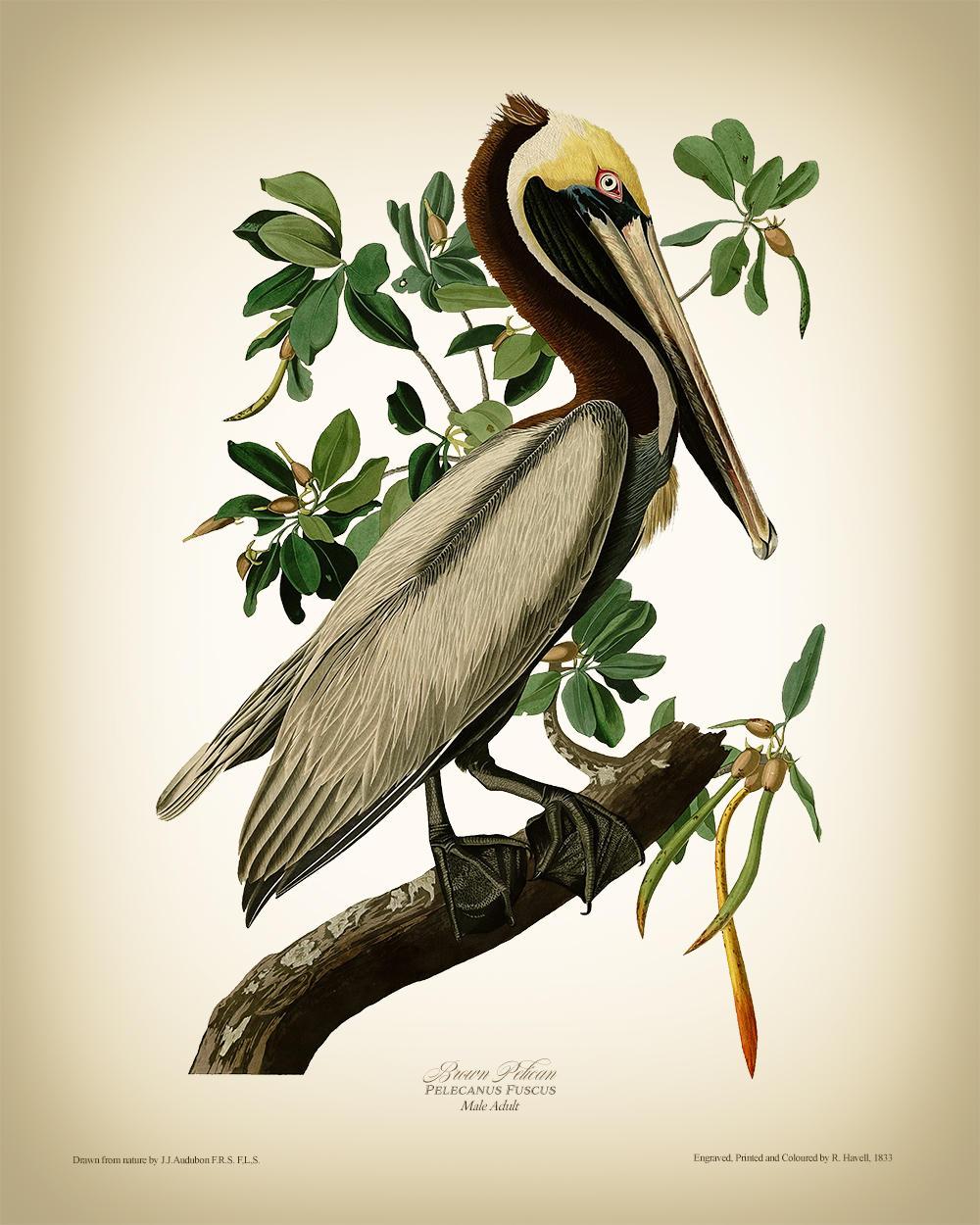 John James Audubon Pelican Vintage Print