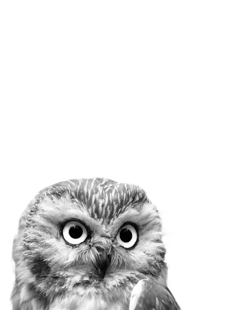Saw whet owl part of a black white owl photo series from grey ghost nature photography