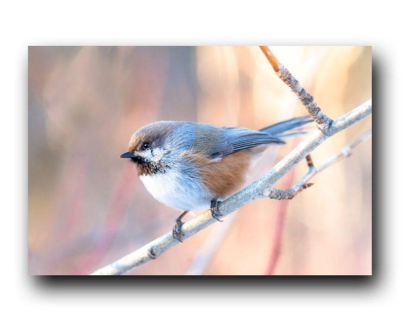 Boreal Chickadee, Backyard Bird, Song Bird, Common Bird, Small Bird,  Chickadee, Winter Bird, Mountain Bird, Alberta Bird, Songbird, Bird Pic