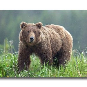Portrait of a Grizzly Black /& White Grizzly Bear photo by award-winning wildlife photographers of Grey Ghost Nature Photography