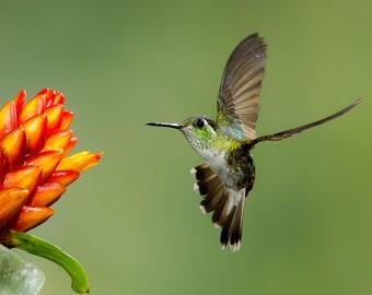 Hummingbird Photo, Hummingbird Print, Nature Print, Fine Art Print, Bird Picture, Bird Photography, Hummingbird Art, Hummingbird