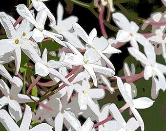 Pretty White Jasmine