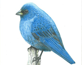ANIMAL KINGDOM: Mountain Bluebird