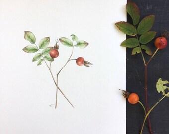 Two rose hips - original drawing