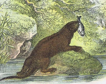 antique print otter 1896
