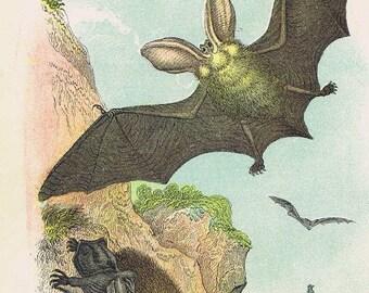 antique print long eared bat 1896