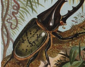 antique print Hercules beetle 1895