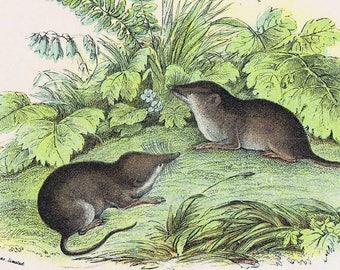 antique print Rodents. Common Shrew 1896