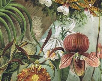 antique print orchid 1895
