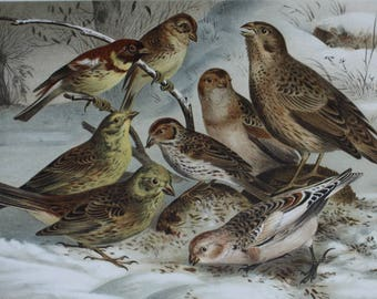 Plate: 'Ammer'. (Emberizidae. 1,2. Yellow-breasted Bunting - 3. Corn Bunting - 4,5. Yellowhammer - 6. Little Bunting - 7,8. Snow Bunting.)