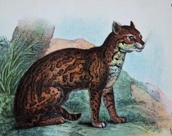 antique print of a Cats Ocelot ... Felis pardalis 1896