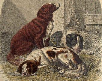 antique handcoloured engraving sport dogs 1860