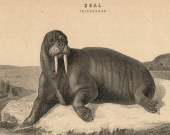 antique etching seal walrus 1880