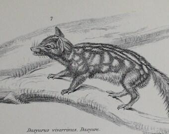 antique print etch porcupine ant eater duck bill 1880
