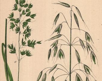 Oude Botanische Prenten : Antikes botanische druck quitte gemeinsame mispel weißdorn etsy