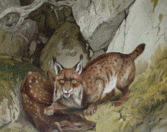 antique print lynx with roe deer kalf 1897