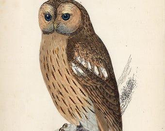antique print tawny owl 1860