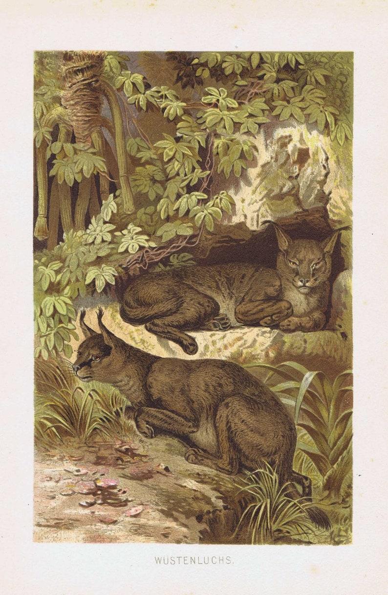 1892 Antique Print Desert Lynx Brehm Etsy