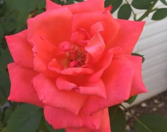 Rose Photography Digital Print