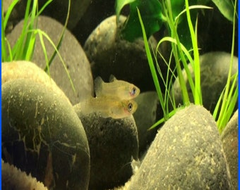35+ Mosquito Gambusia MINNOW Aquarium Koi Pond Feeder Guppy FISH Mosquito Control