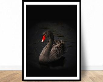 Black Swan Print, Animal print, Animal Wall Art, Black and Red, Animal Photography, Bird Photo, Printable Poster, Printable Wall Art