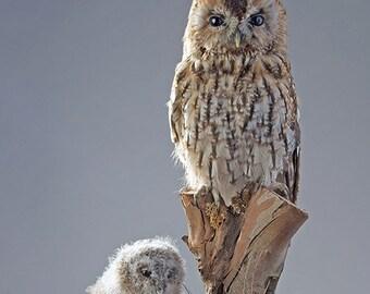 Taxidermy Tawny owls
