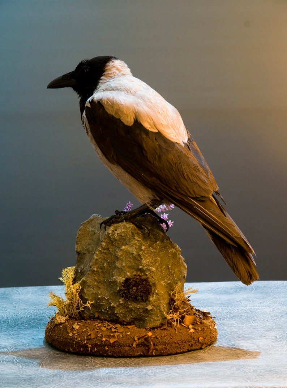 Taxidermy Hooded Crow