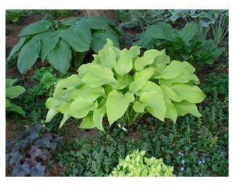 Heart shaped leaves etsy city lights hosta 1 quart potted plant bright yellow heart shaped leaves white flowers perennial landscaping border dense foliage mightylinksfo