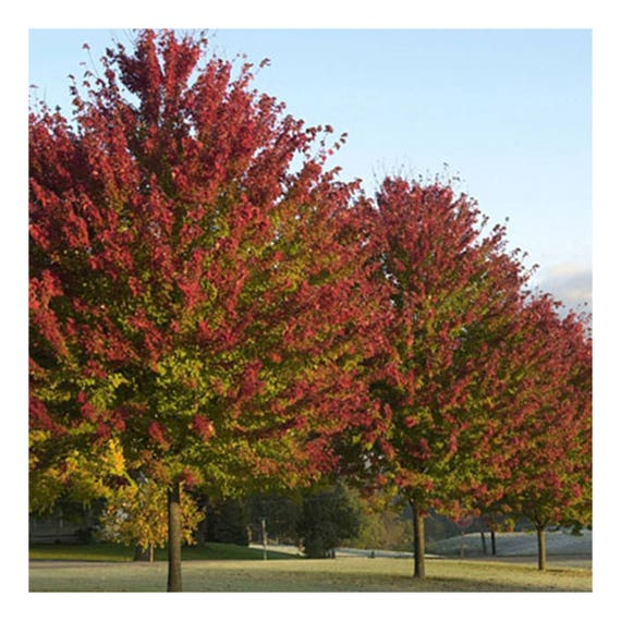 Burgundy Belle Maple Tree 2 Gallon Potted Plant Green To Etsy