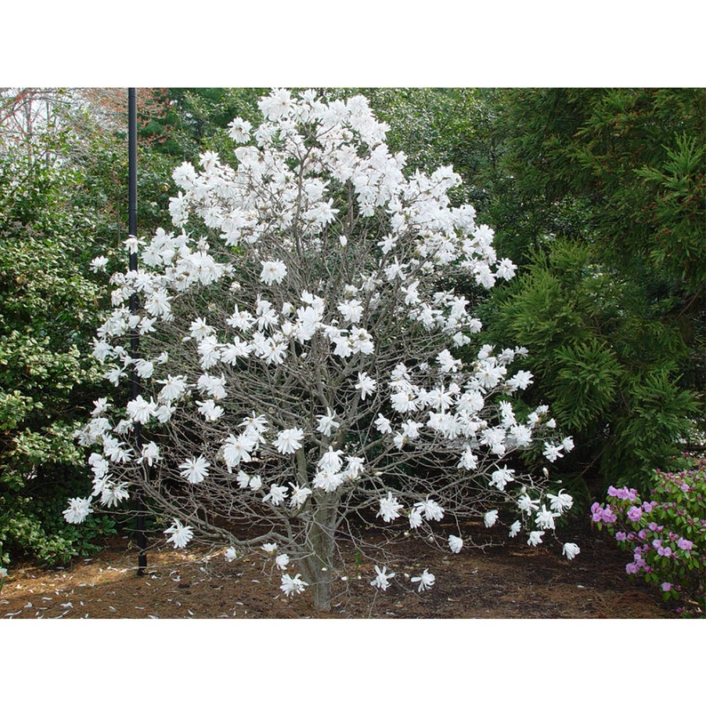 b83834abe0527 Royal Star Magnolia Tree, 1 Gallon Potted Plant, Magnolia Stellata,  Fragrant Blooms, Healthy Plant, Flowering White Blossoms, Spring Foliage