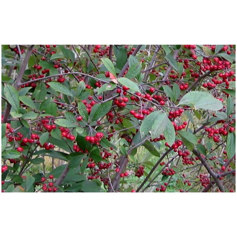 Red Chokeberry Shrub 1 Gallon Potted Plant White Flowers Etsy