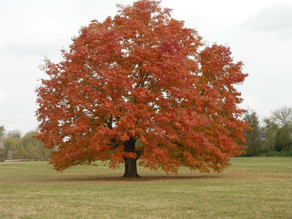 Red Maple Tree Etsy
