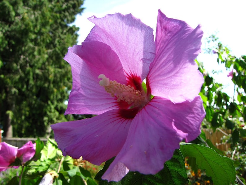 Rose Of Sharon Minerva Hibiscus Syriacus 3 Pack Etsy