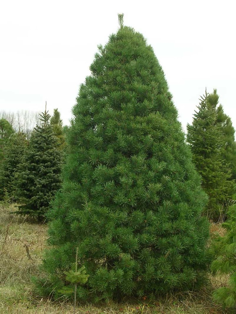 Needles Scotch Pine 12 Potted Plants in 2.5 Pots Christmas Tree Pinus Sylvestris Fragrant Coniferous Evergreen French Dark Green