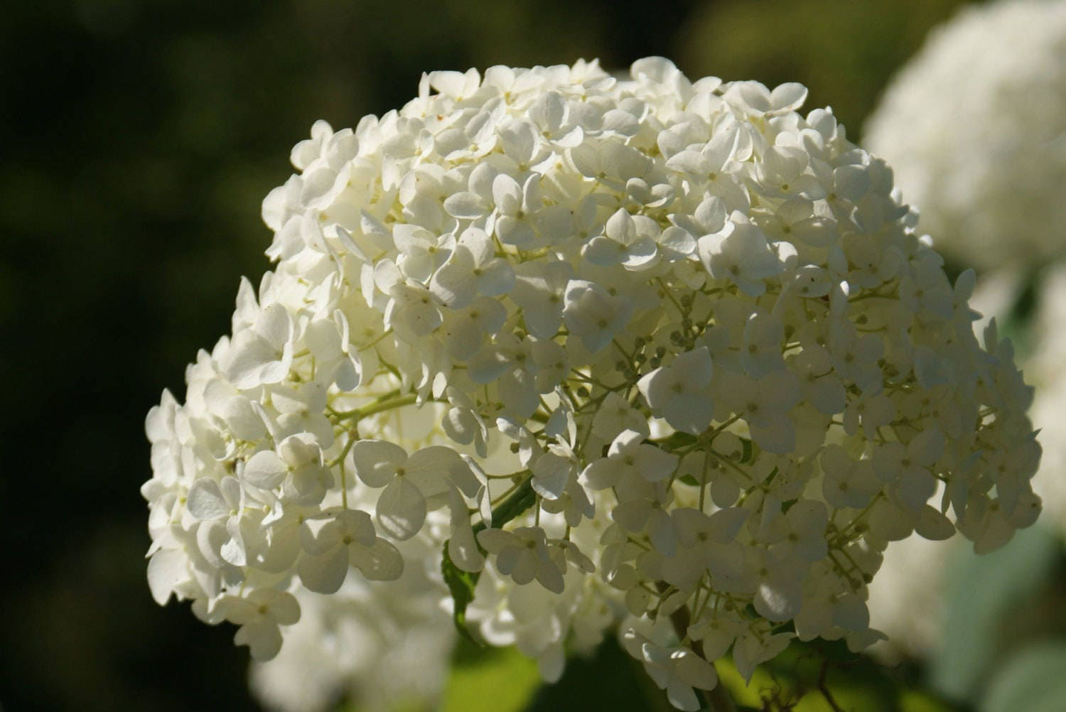 Annabelle Hydrangea 1 Gallon Potted Plant Big White Blooms Etsy