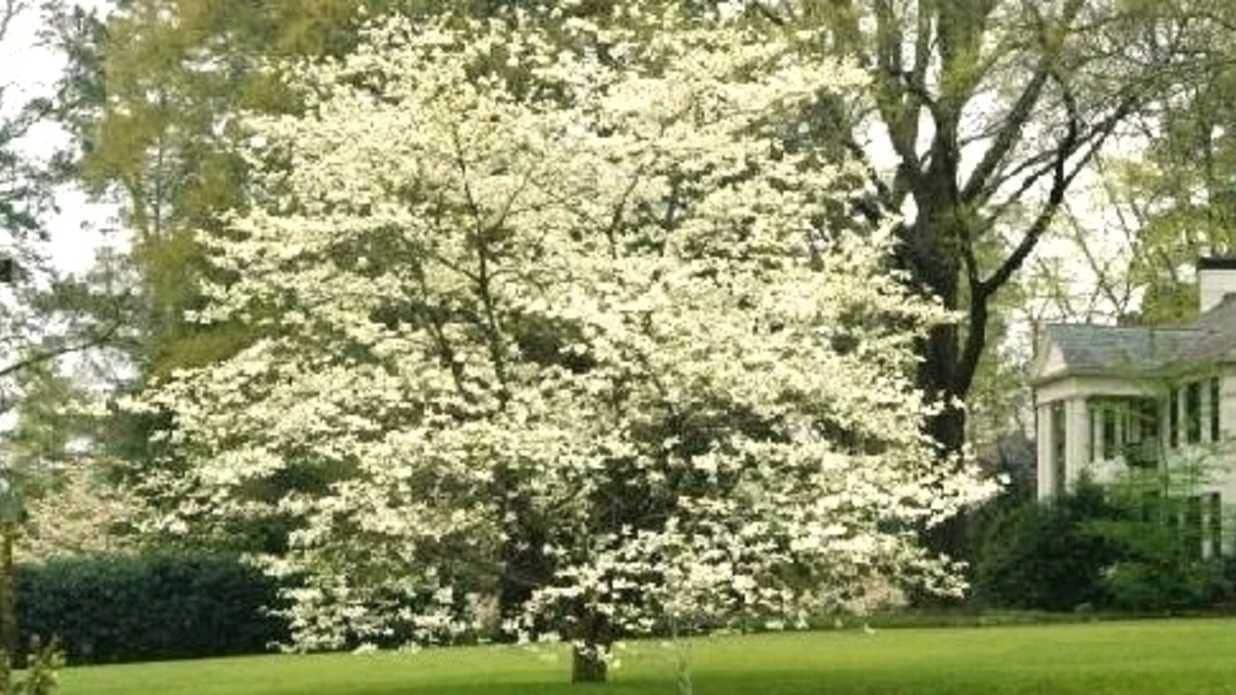 White Flowering Dogwood 1 Gallon Potted Plant Cornus Etsy