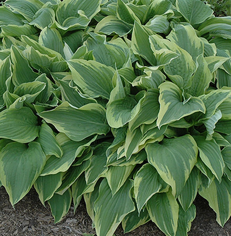 Perennial 1 Quart  Potted Plant Containers Sundance Hosta Landscaping Attracts Birds Rock gardens Border Dense Foliage