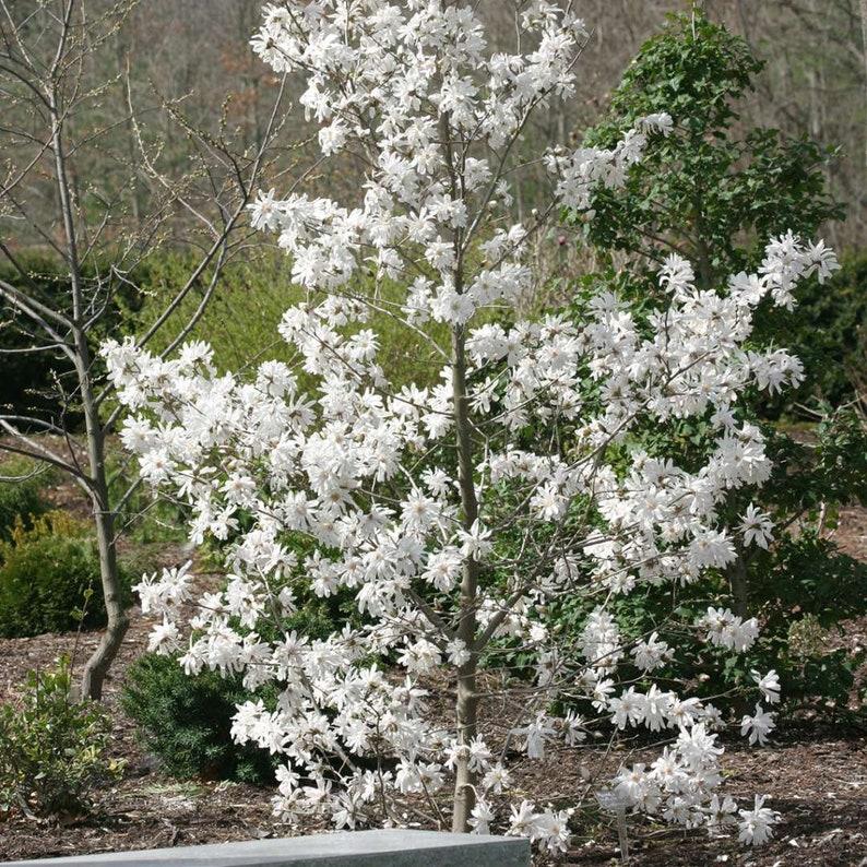 Centennial Star Magnolia Tree 1 Gallon Potted Plant Fragrant Etsy